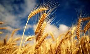 الحصاد كثير